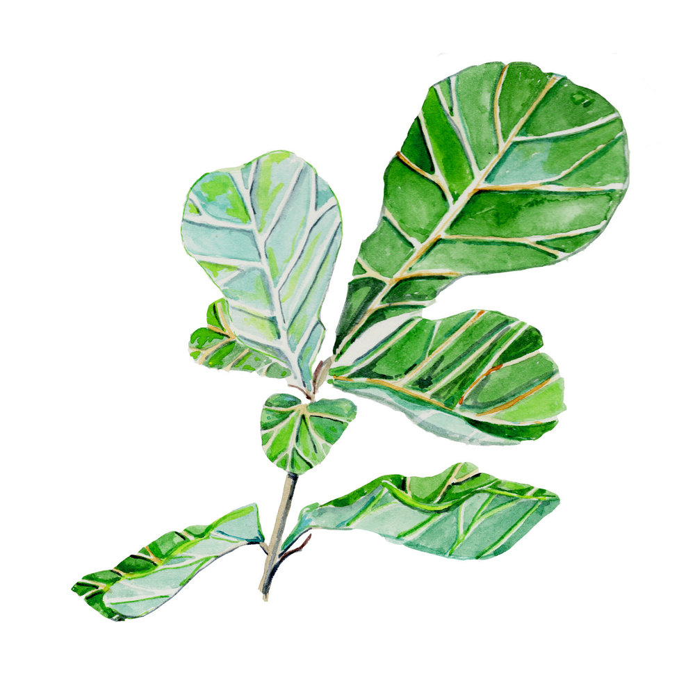 fig leaves.jpg
