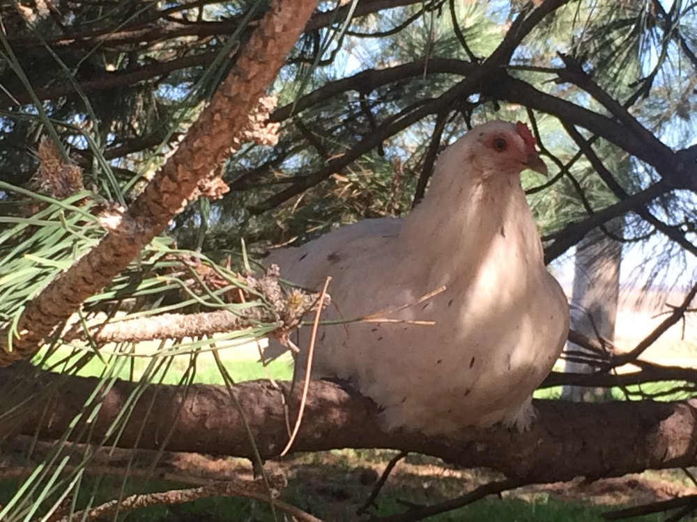 We found this hen roosting in the shade of a pine tree.