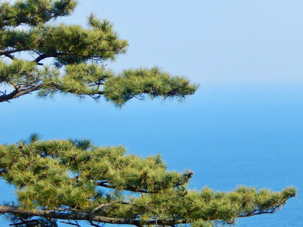 Japanese Pine overlooking the Pacific Ocean—Shizuoka Prefecture, Japan