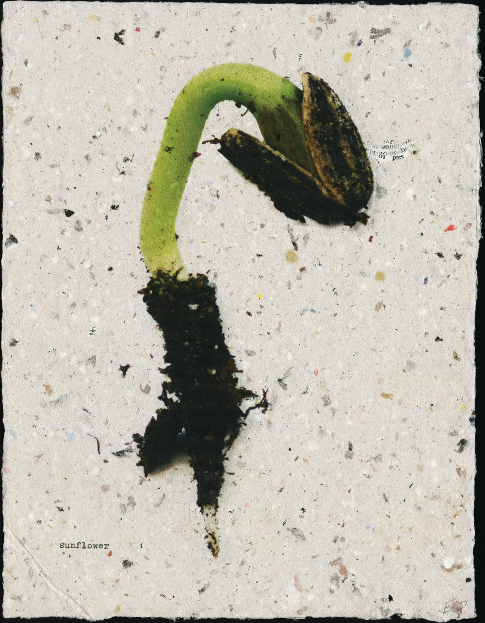 seedling: sunflower