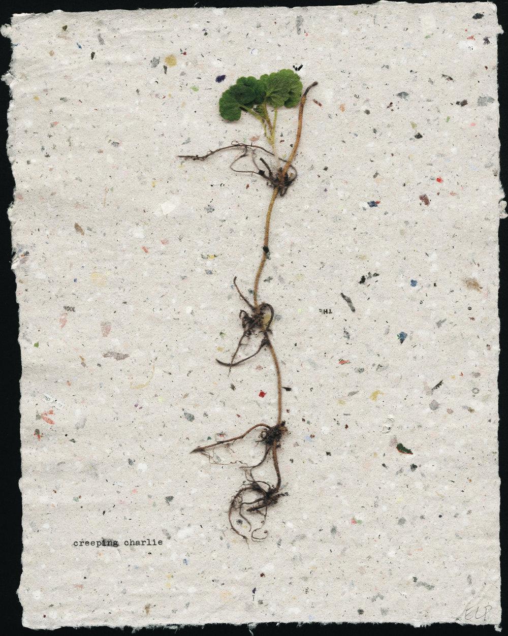 seedling: creeping charlie