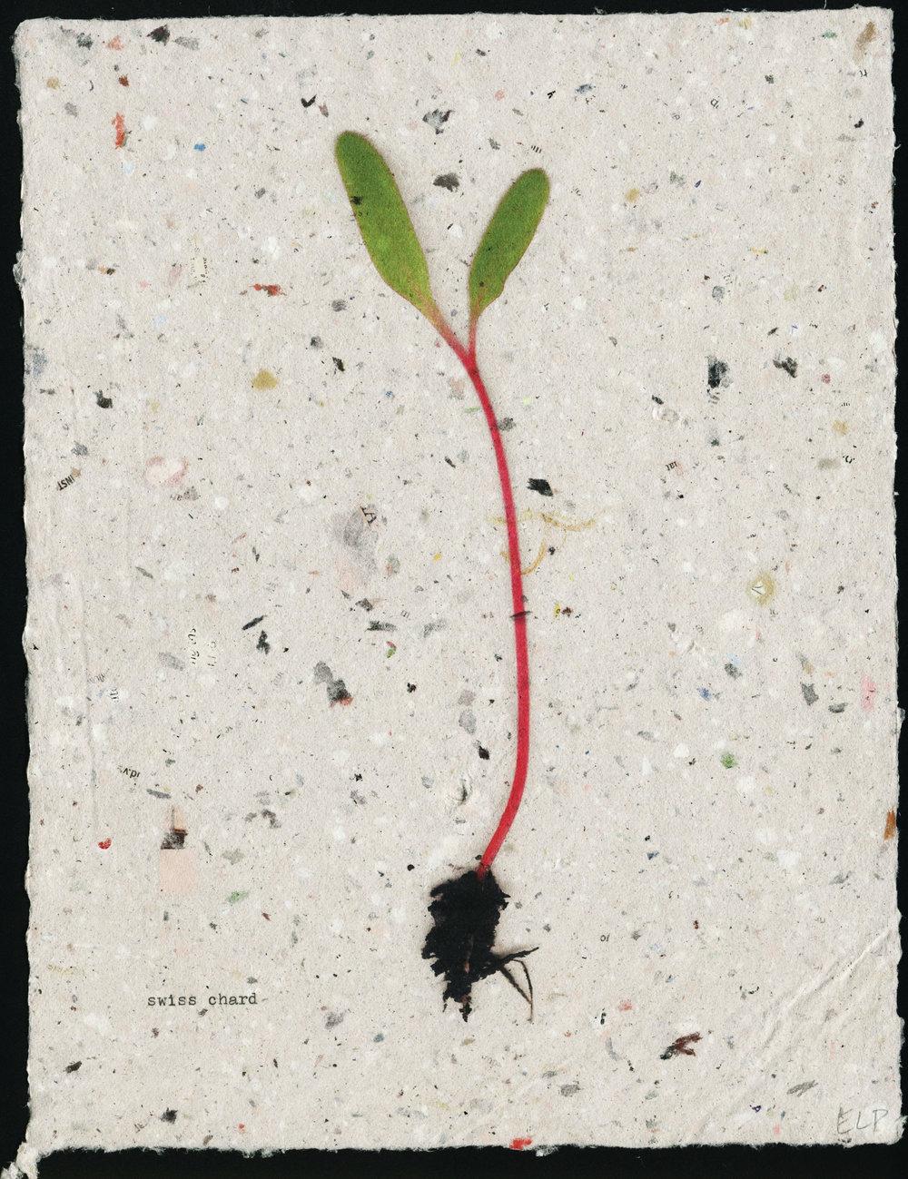 seedling: swiss chard