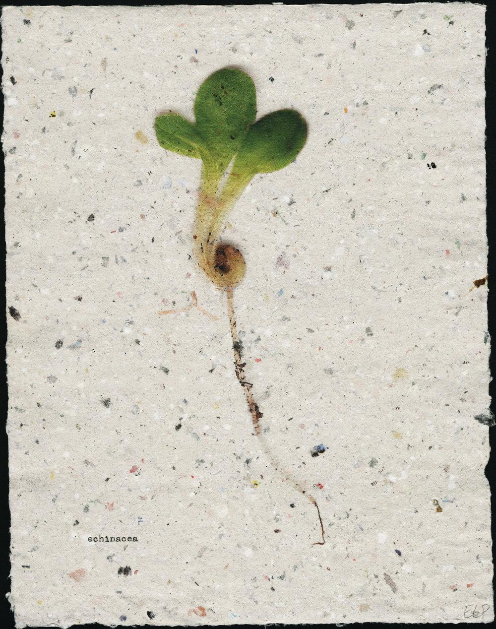 seedling: echinacea