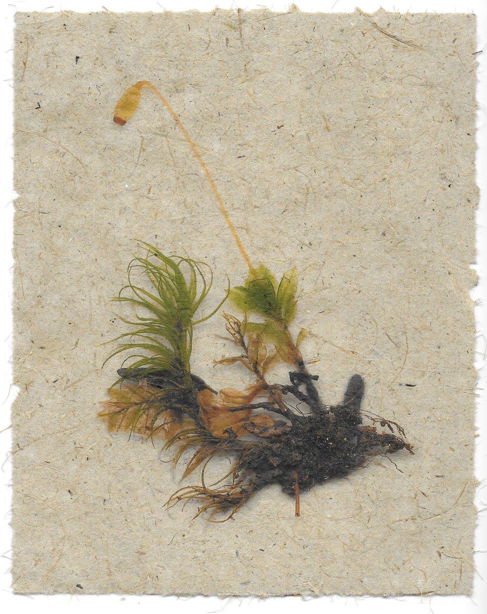 moss specimen #1
