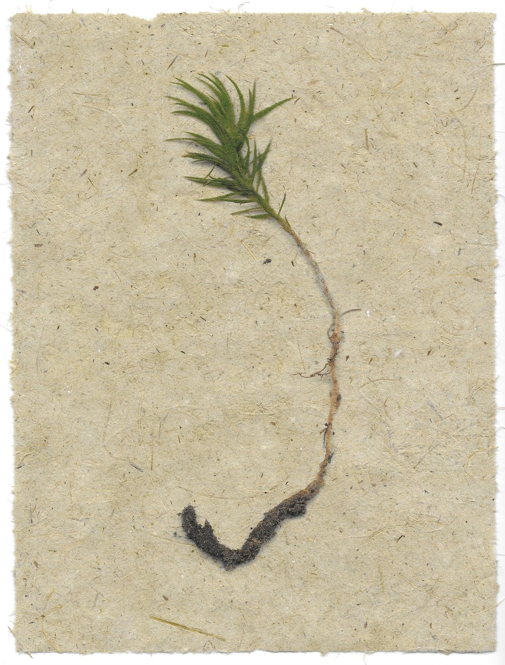 moss specimen #3