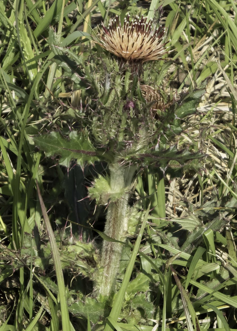 Yellow Thistle Cirsium Horridulum Yellow Variation Photo Album