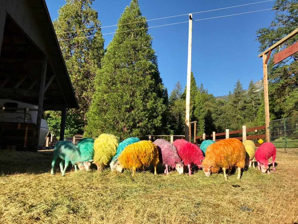 Colored sheep grazing