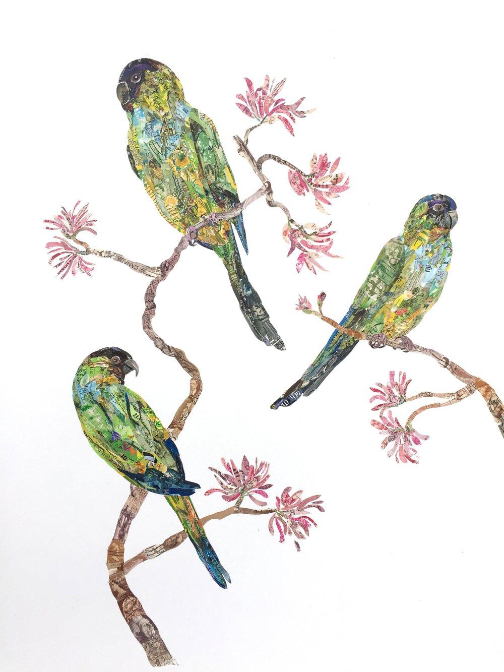 Nandays Parakeets, 2015