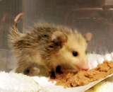 OPOSSUM  Orphan opossum found in an elevator in Emeryville. This opossum was brought to Montclair Vet Hospital, examined, treated and then transferred to local wildlife rescue center for rehabilitation and release.
