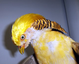 Golden Pheasant  Yellow phase golden pheasant brought to Montclair Vet Hospital by animal control officer from a foster home where it was being cared for after its owner had died.