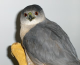Hawk Sharp-shinned hawk found in Oakland and treated by Montclair Vet Hospital for a puncture wound. The hawk was later transferred to a local wildlife rescue center for rehabilitation and released.