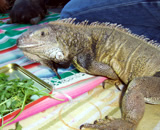 Iguana  Pet Iguana, belonging to the staff at Tree Frog Trek, being treated at Montclair Vet Hospital