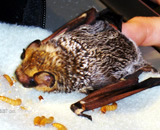Bat Bat, after falling and breaking its wing, eating meal worms. This photo was taken before the bat was sent to rehabilitation at the Yggdrasil Urban Wildlife Rescue.