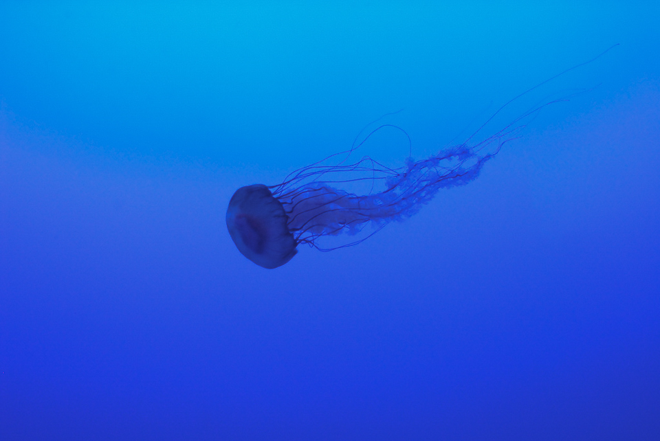 LA MEDUSE   A gracious jellyfish swimming in an infinite blue