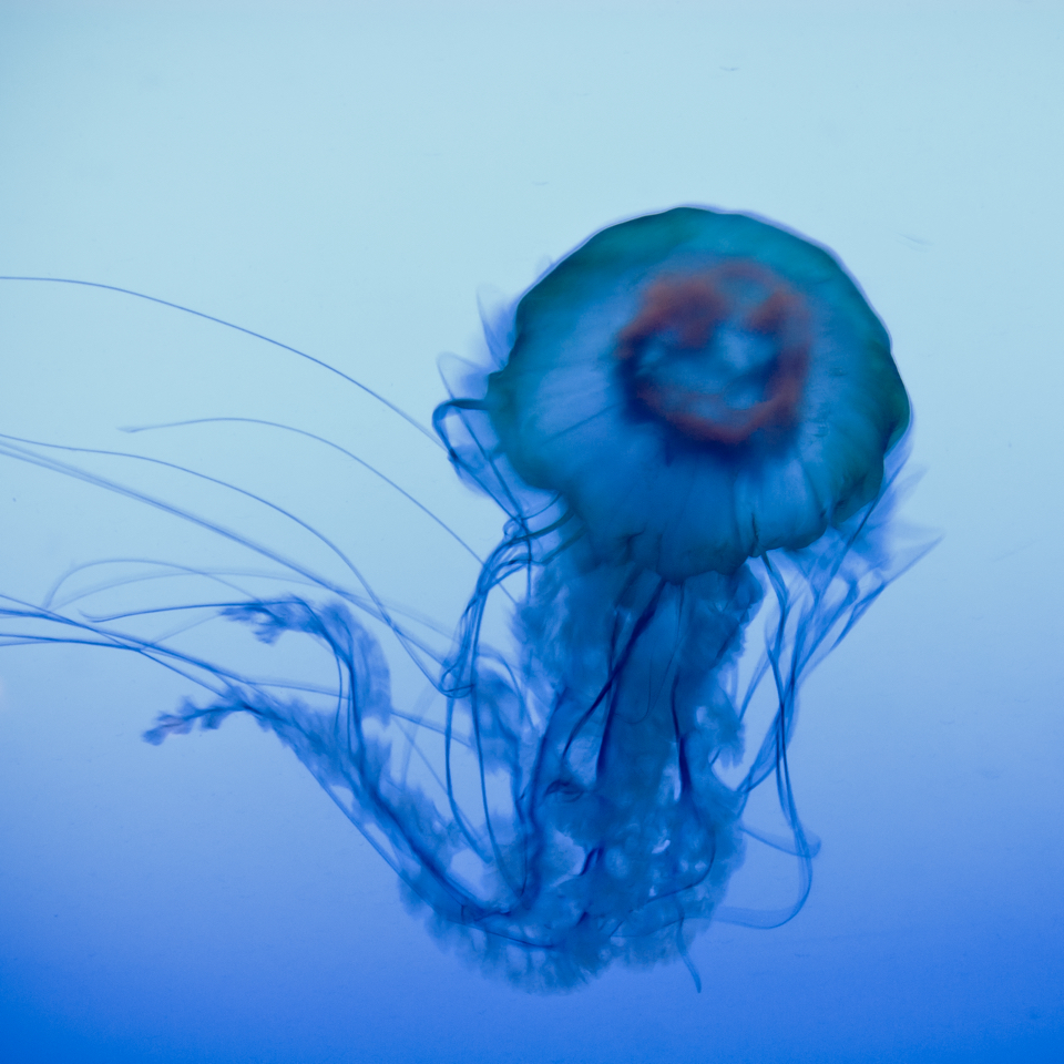 LA MEDUSE 2   A gracious jellyfish swimming in an infinite blue