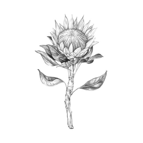 King protea drawing 66427 loadtve for Black and white painting techniques