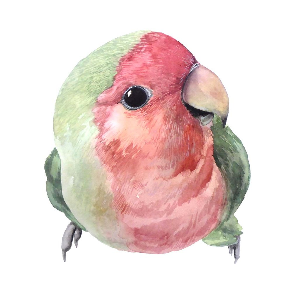 skittle peach faced lovebird bird pet portrait