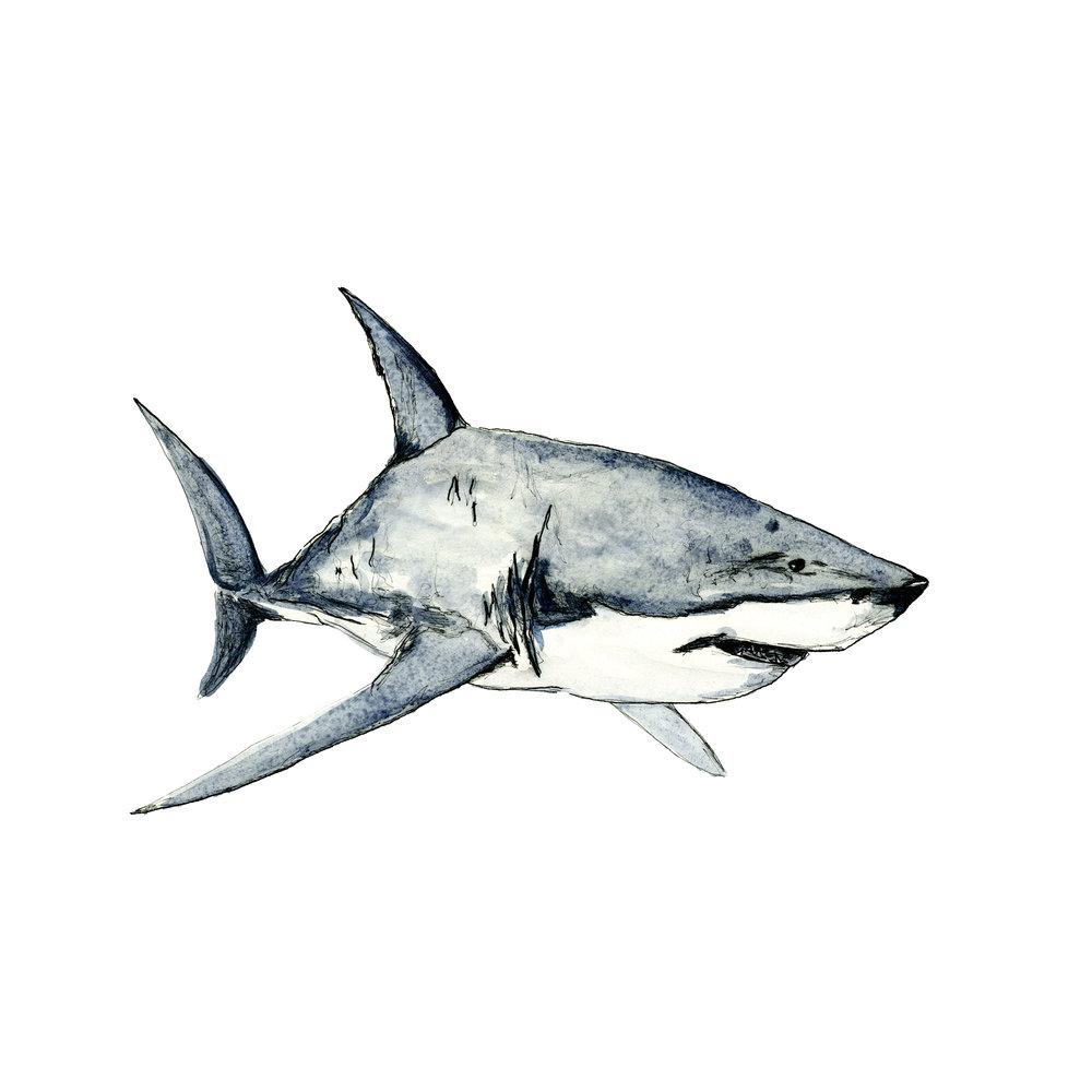 Great White Shark watercolour artwork by sebastian thalheim seppdesigns