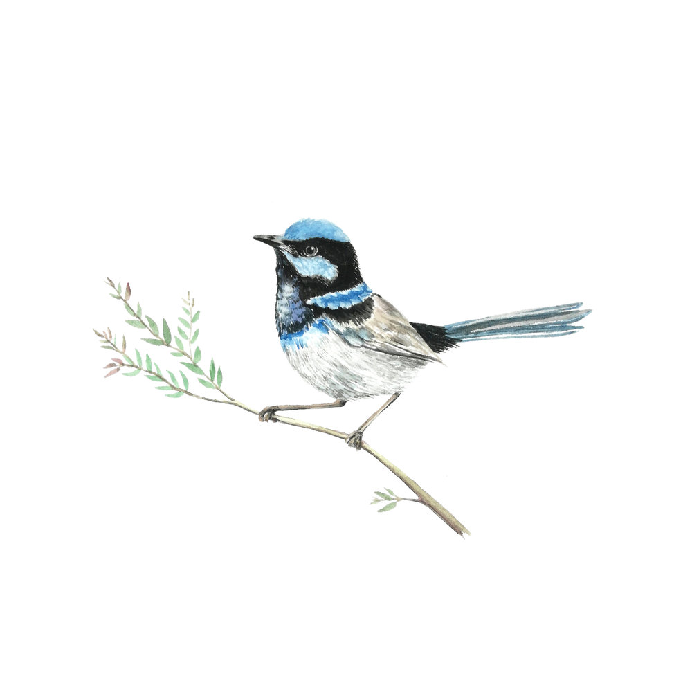watercolour painting by paula formosa australian native fauna animal bird Blue Fairy Wren