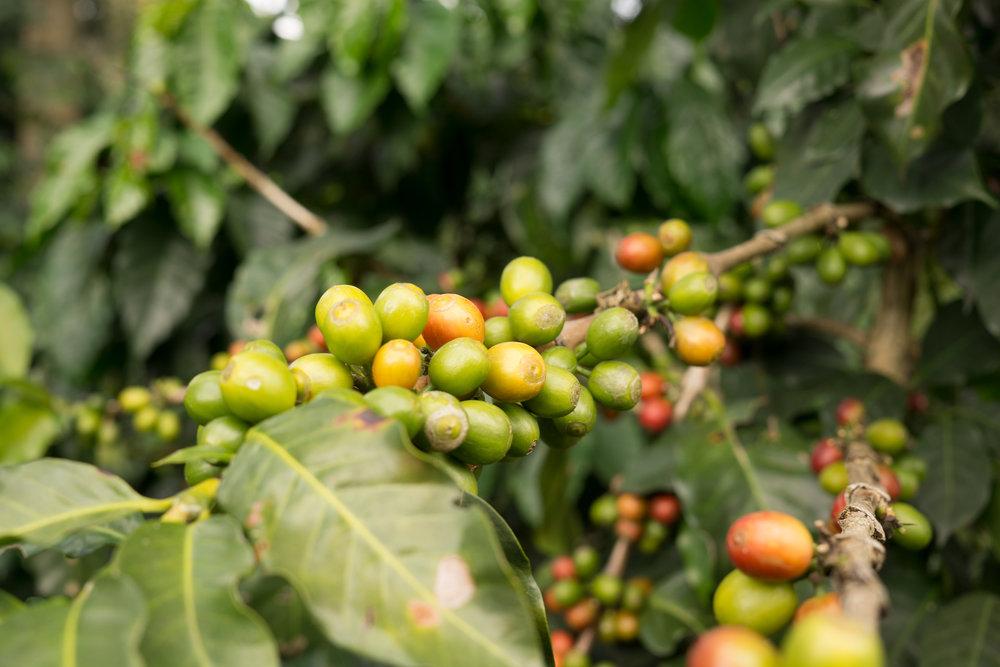 Coffee cherries ripening, Oaxaca, Mexico