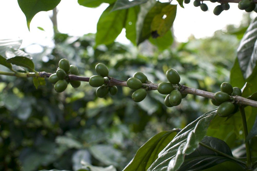 Unripe Cherries.jpg
