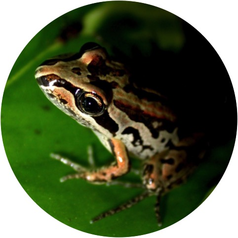 Striped Marsh Frog.jpg