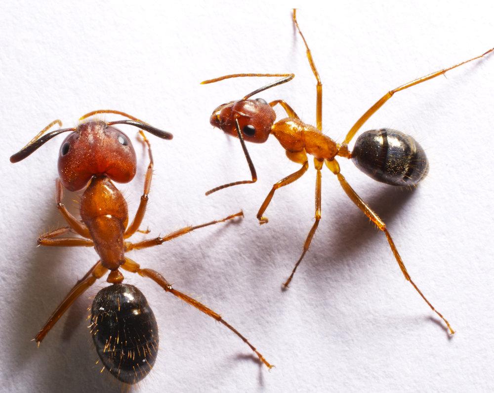 Ant worker morph.jpg