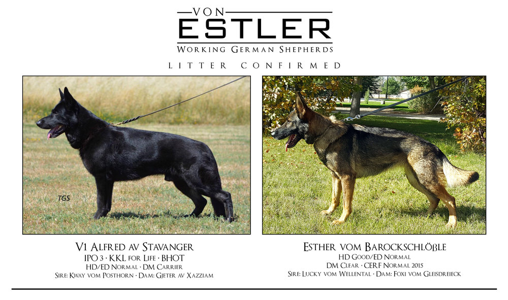 We are excited to announce the upcoming litter from Esther and Larry
