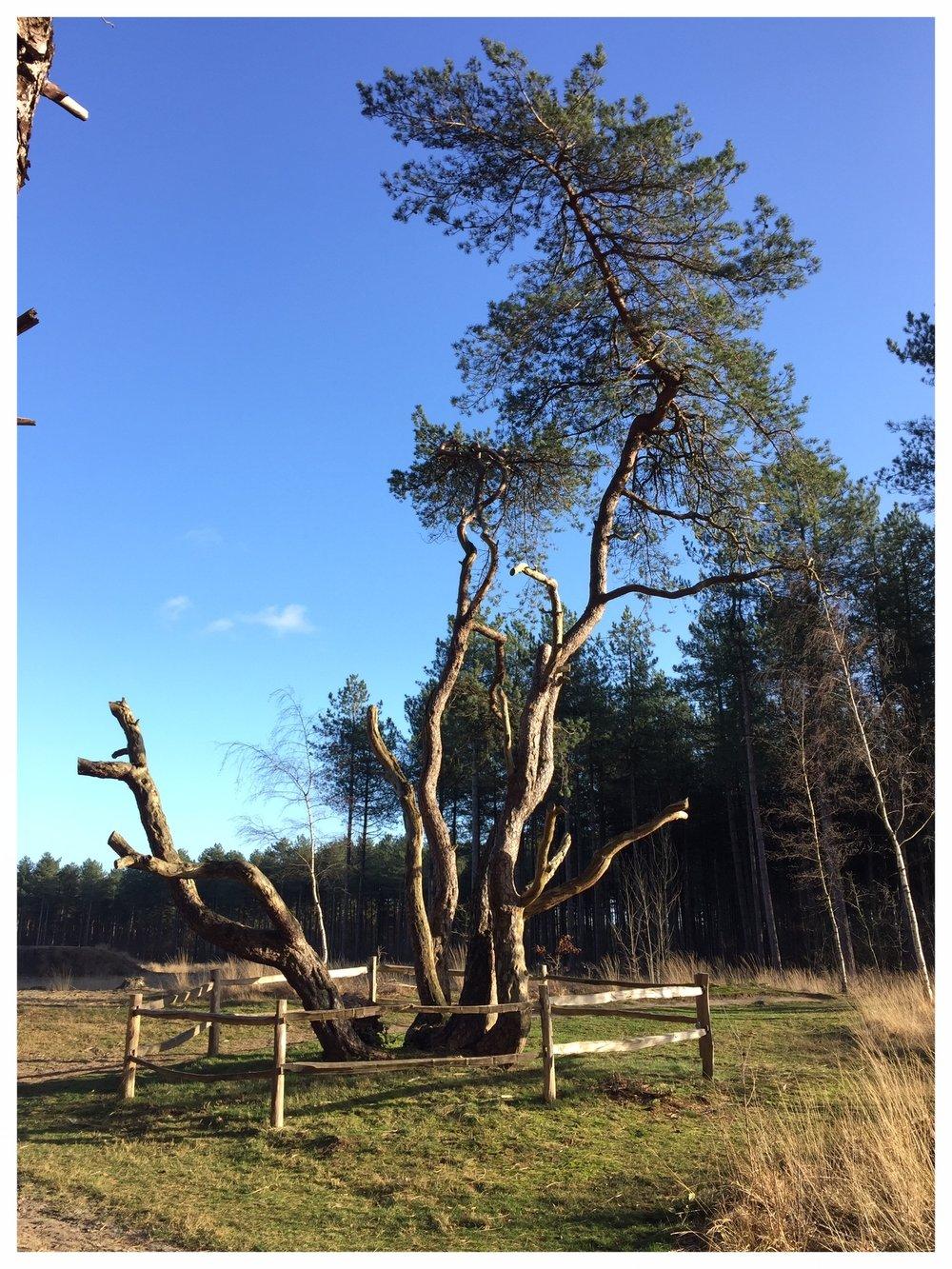 Achtzalighedenboom in Lille