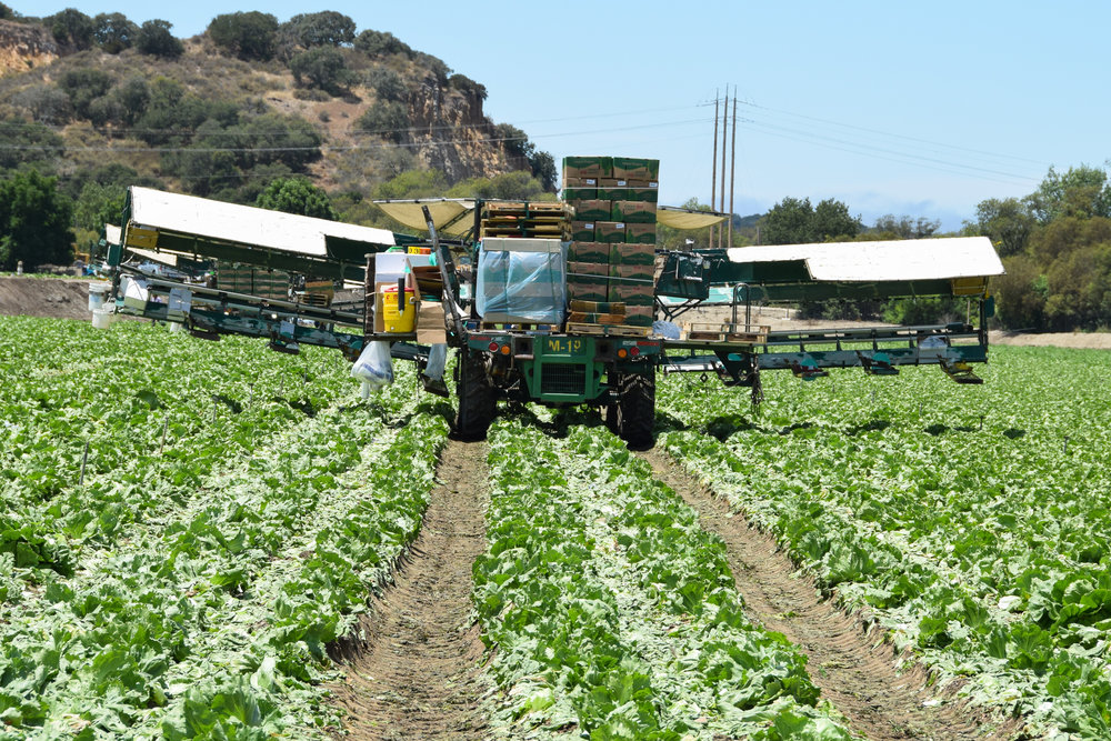 Lettuce being harvested in the Salinas Valley.