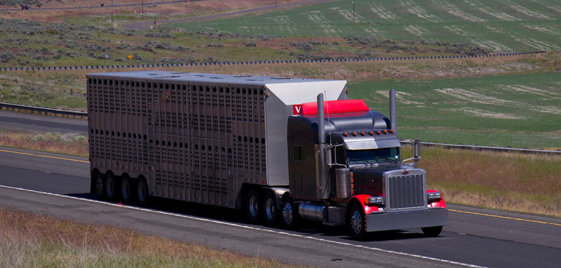 Livestock groups have requested a 5-year exemption from current hours-of-service rules, allowing drivers to drive up to 15 hours in a day and work 16 hours. ( Photo: Shutterstock )