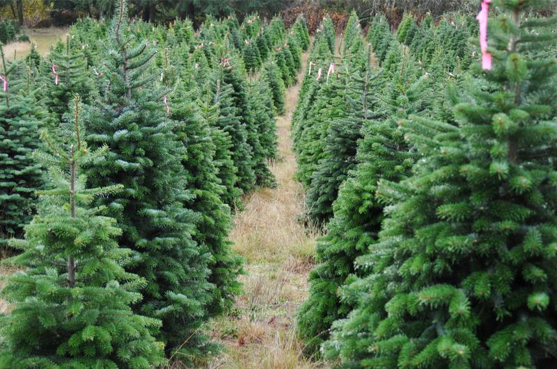 Oregon Christmas tree farm ( Photo: Shutterstock )