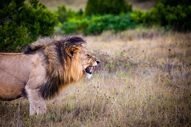 lion-predator-big-cat-Michael Veltri