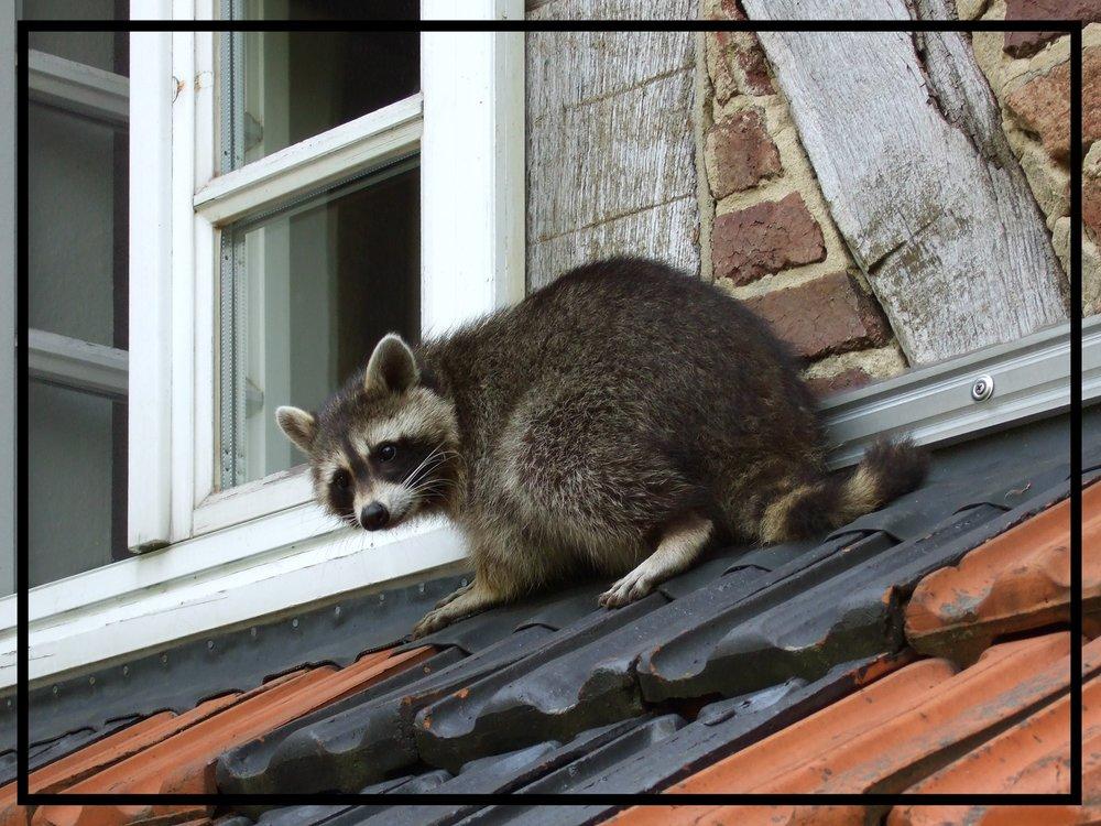 Waschbaer_auf_dem_Dach.jpg