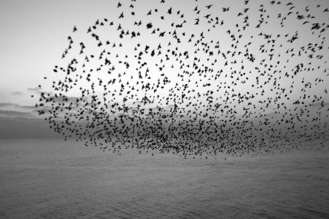 starlings-e1276713669193.jpg