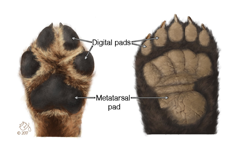 Anatomy of the Paw Pads This illustration shows the differences in appearances of digital and metatarsal pads between Canine and Ursidae.