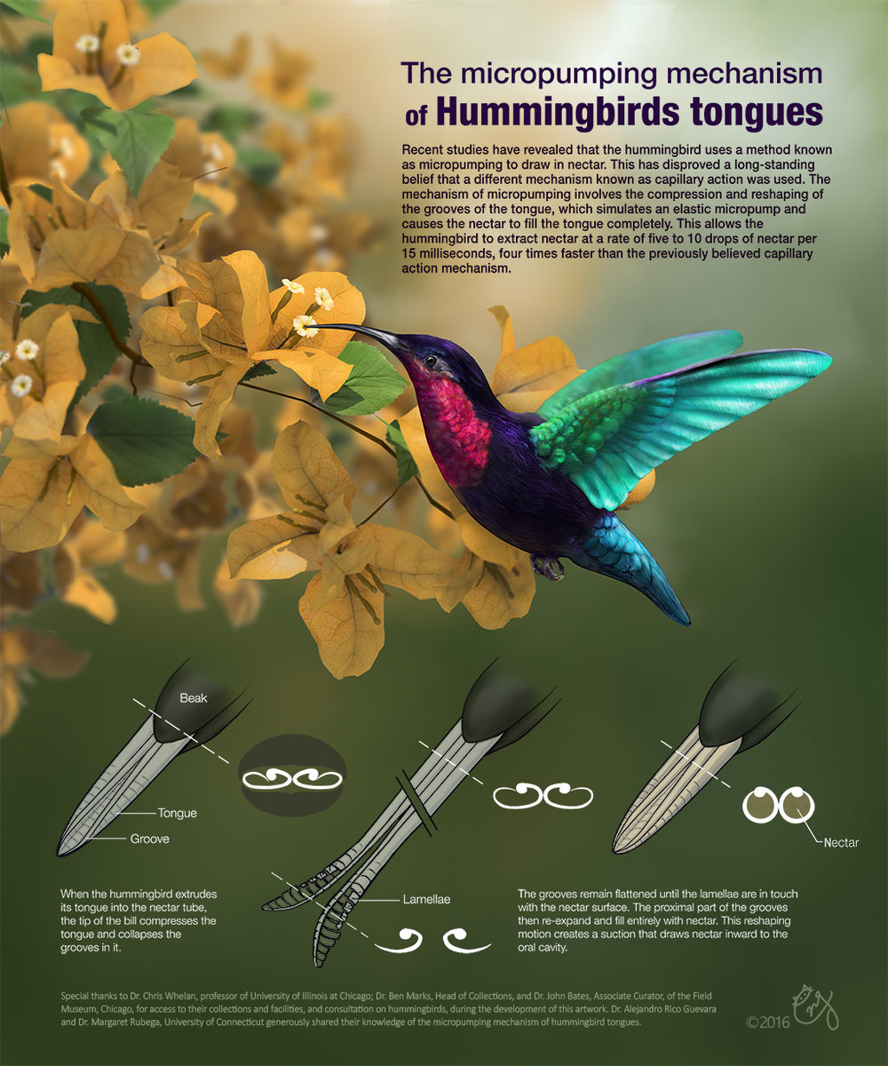 The Micro-pumping Mechanism of Hummingbirds Tongues A didactic poster that includes both 3D models and 2D schematic diagrams to illustrate the newly discovered mechanism of the hummingbirds tongues as a micro-pump.  2017 Vizzies People's Choice in Posters & Graphics Category Selected for 2017 UIC Legacies and Leaders gallery