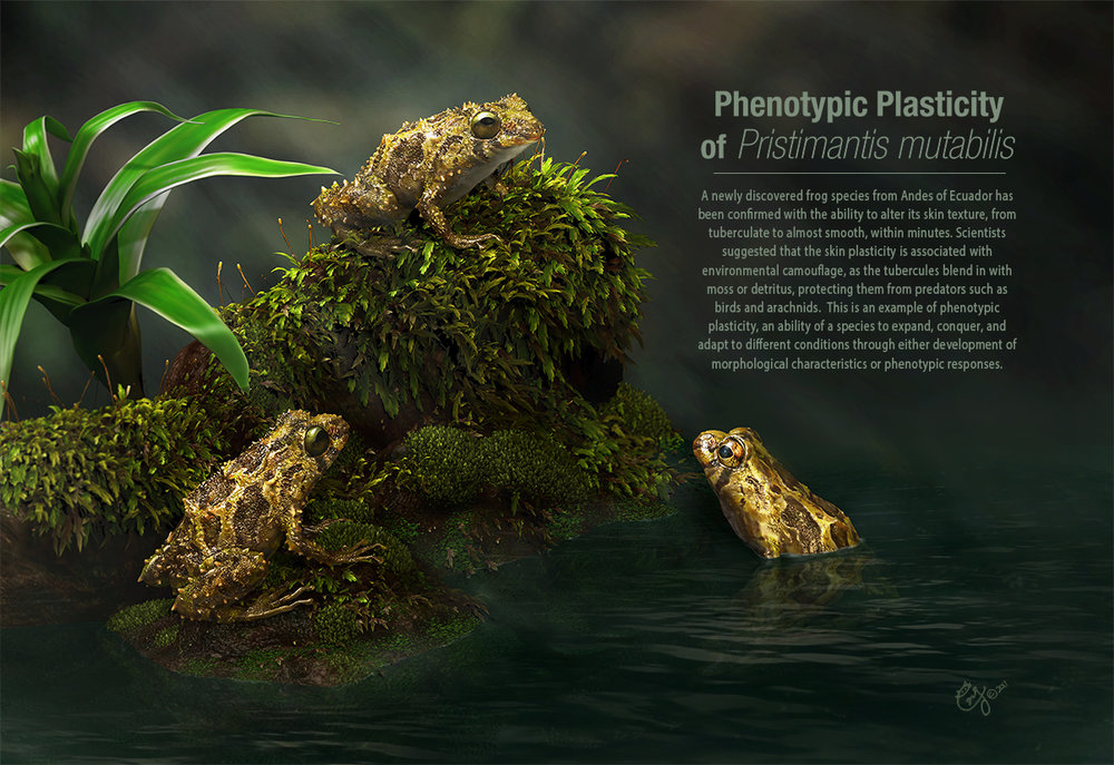 Phenotypic Plasticity of Pristimantis mutabilis The purpose of this illustration is to showcase the mutable rain-frog and its unique ability in skin texture transformation as an example of phenotypic plasticity. 2017 UIC Image of Research 1st Place in Still Image Category