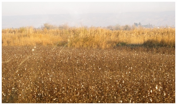 Cotton Field - Turkey.jpg