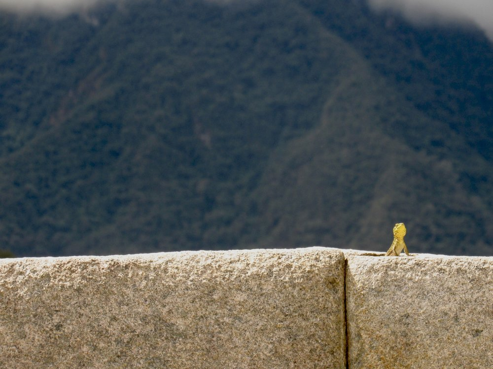 Lizard looking like a Sun God at Machu Picchu