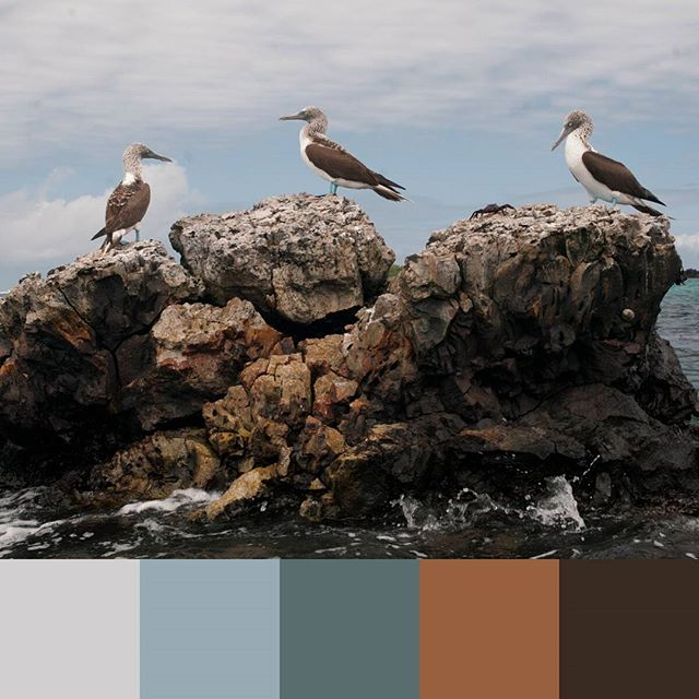 One of my favorite pics, from the Galapagos. -- #colorpalette #creativelife #colorventures #chasinglight #agameoftones #colorinspo #colorinspiration #colors #colortheory #colorgram #designspiration #design #graphicdesign #ecuador #travel #travels #southamerica #bluefootedboobies #nature #birds