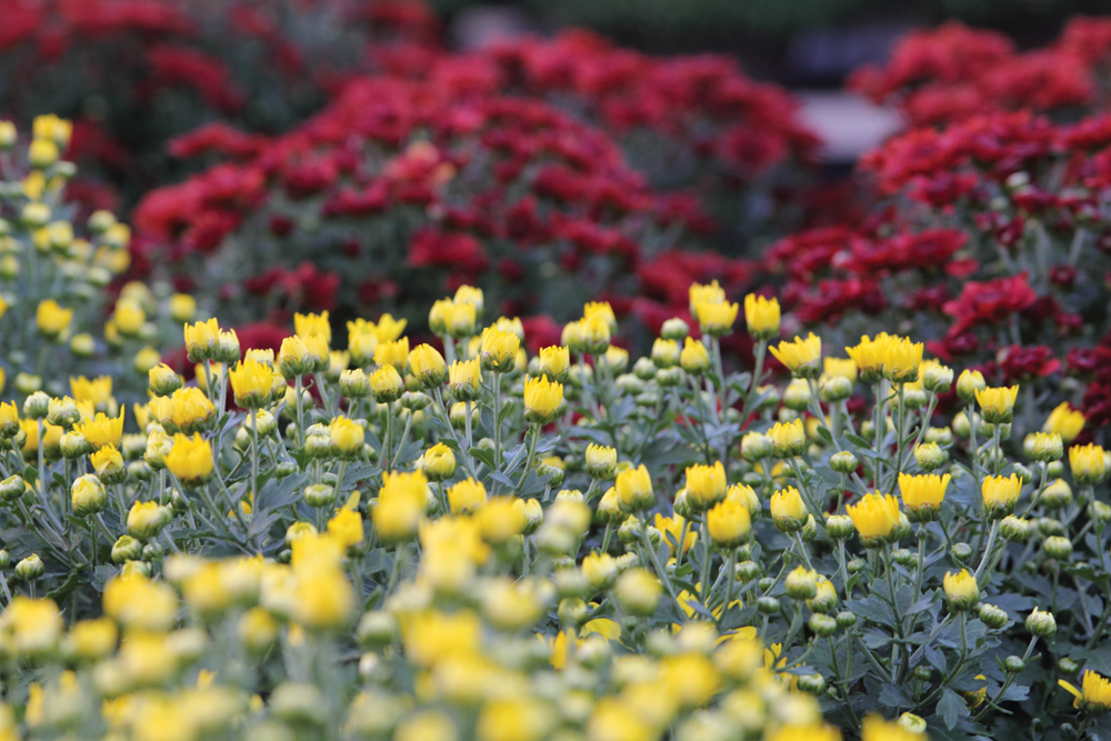Mums at Jeffrey Alans, 4 stores in Illinois and Indiana
