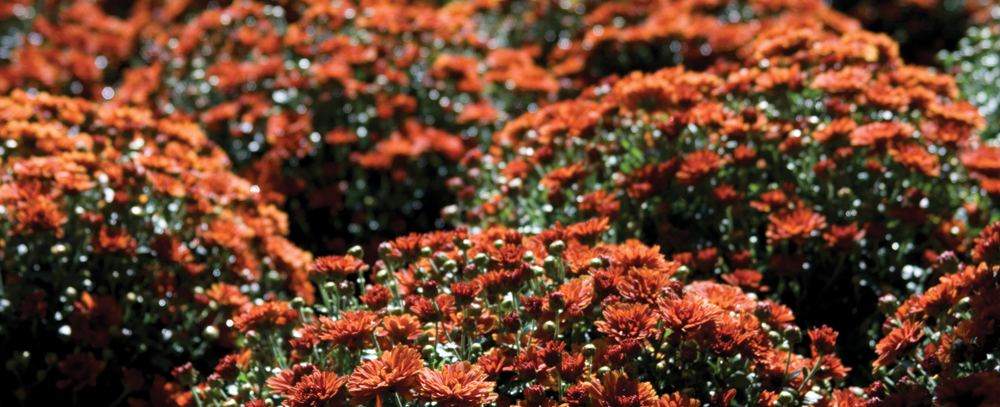 Mums starting at 5.97 at Jeffrey Alans, 4 locations in Illinois & Indiana
