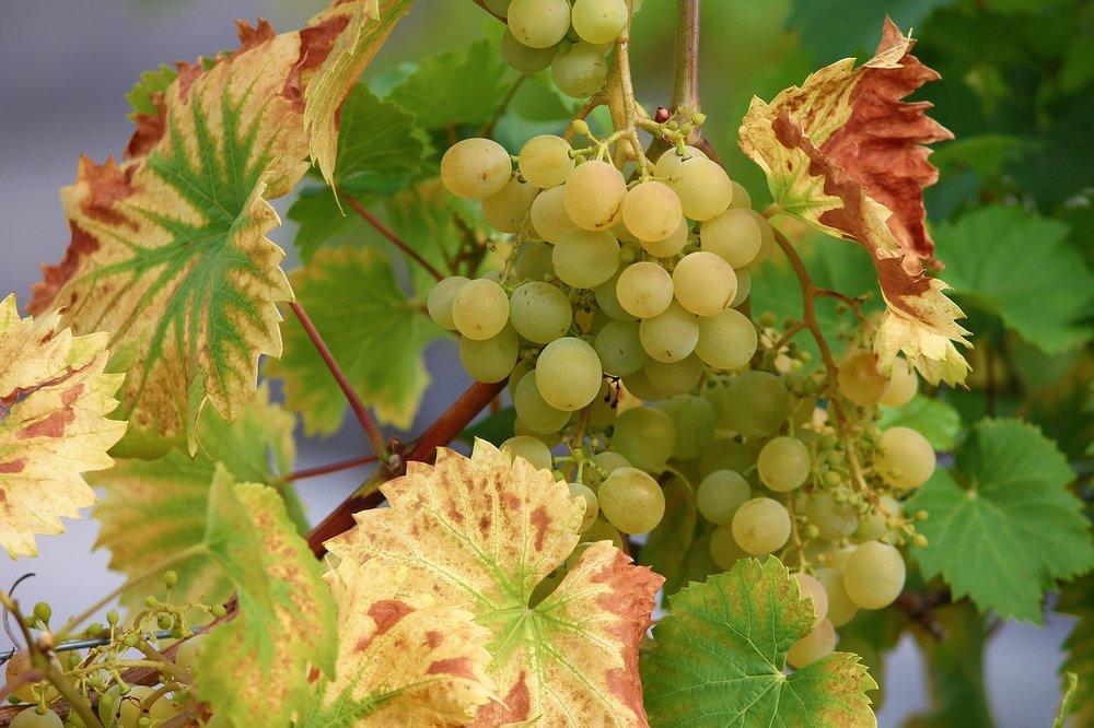 grape-3613298_1280.jpg