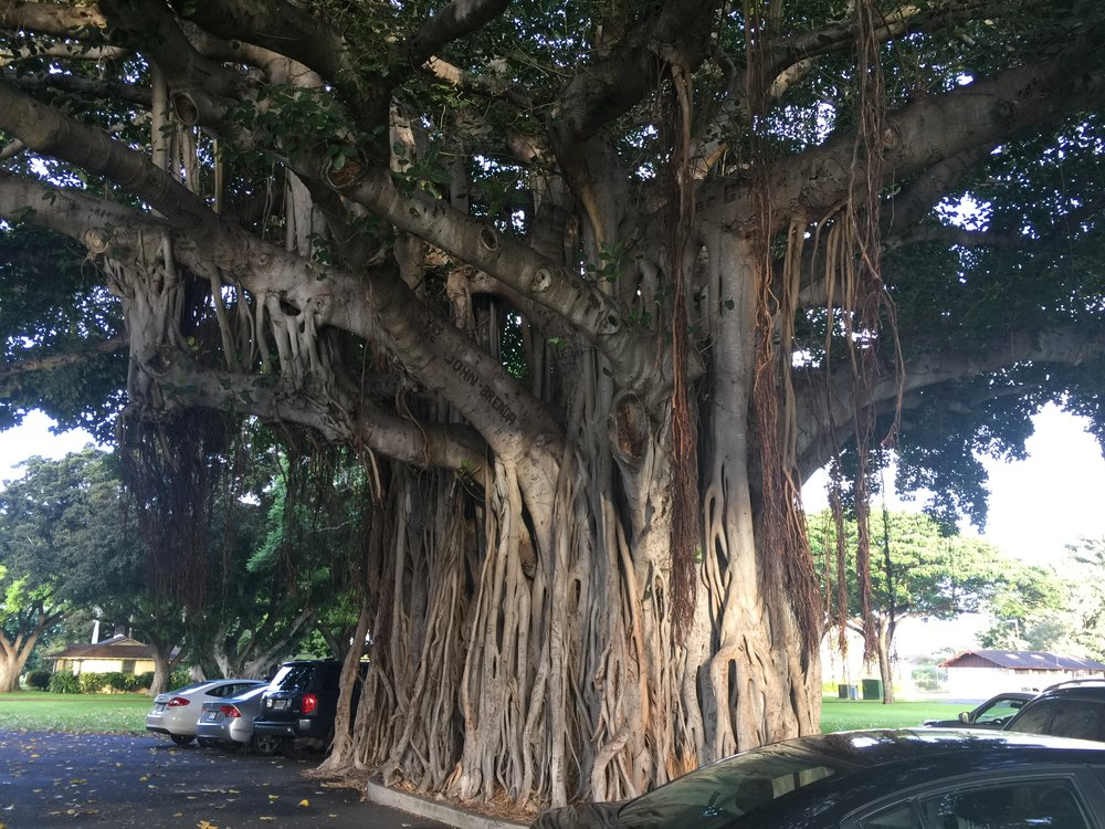 Banyan Tree, Langley Ave, Ford Island