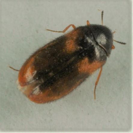 Hamgæra (Reesa vespulae)