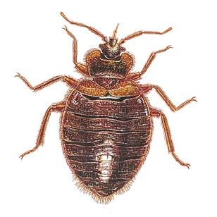 Veggjalús (Cimex lectularius).