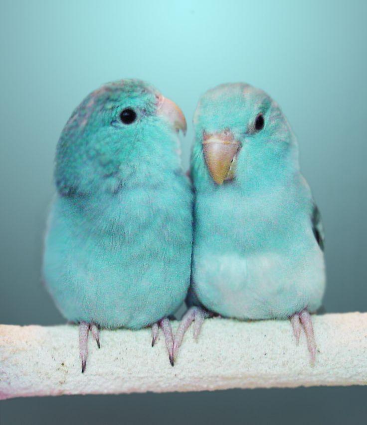 turquiose birds.jpeg