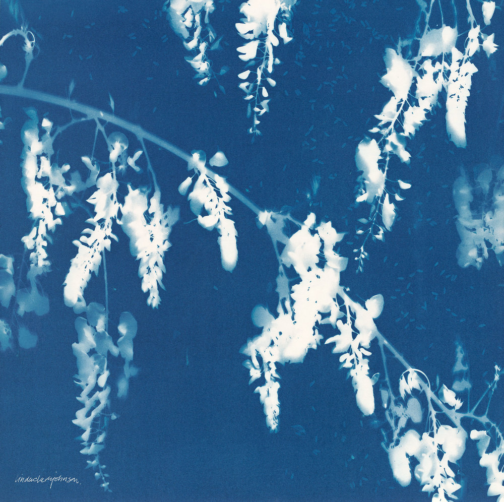 Wisteria 1  | cyanotype on panel | 20 x 20 | SOLD