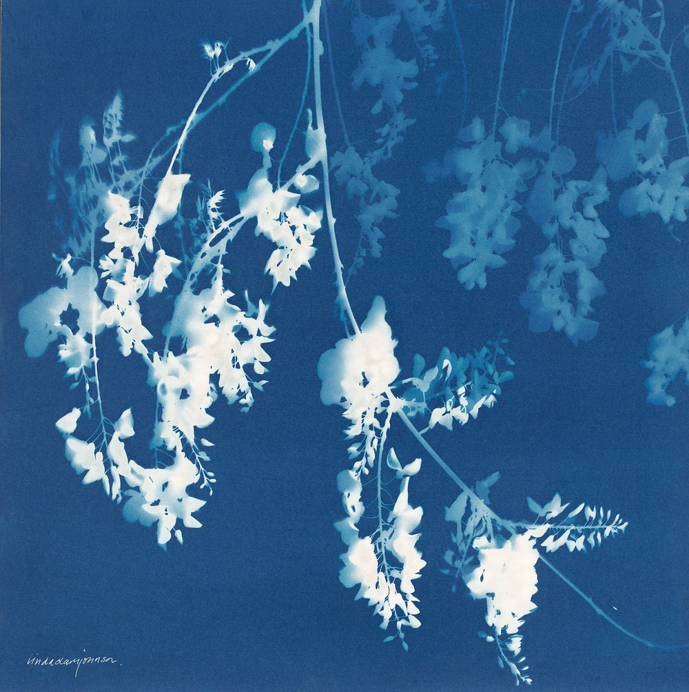 Wisteria 2  | cyanotype on panel | 20 x 20 | SOLD